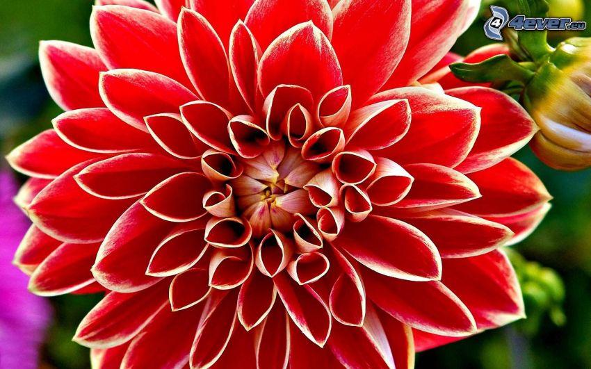 dahlia, röd blomma
