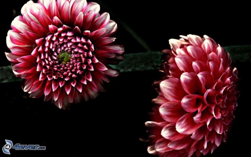 dahlia, röda blommor