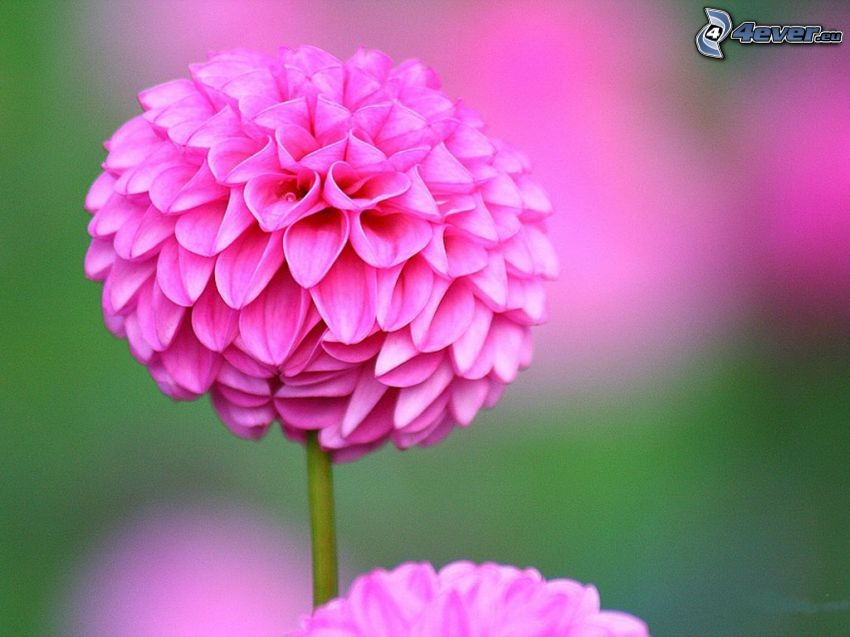 dahlia, rosa blomma