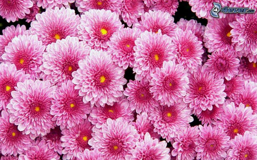 dahlia, rosa blommor