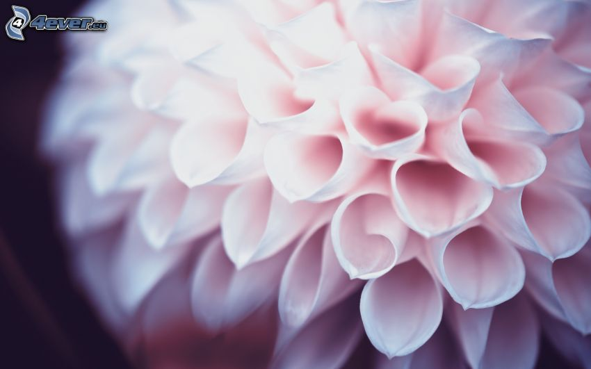 dahlia, vit blomma