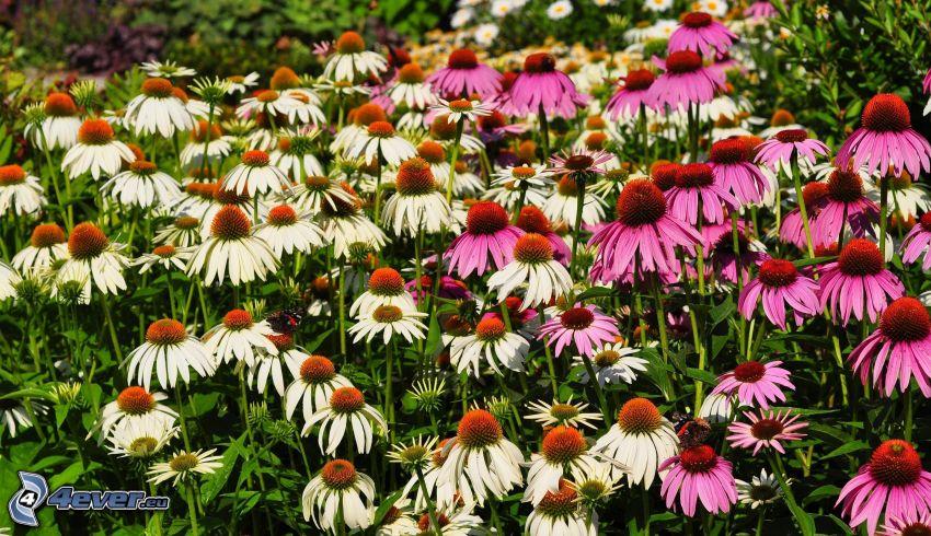 Echinacea, rosa blommor, vita blommor