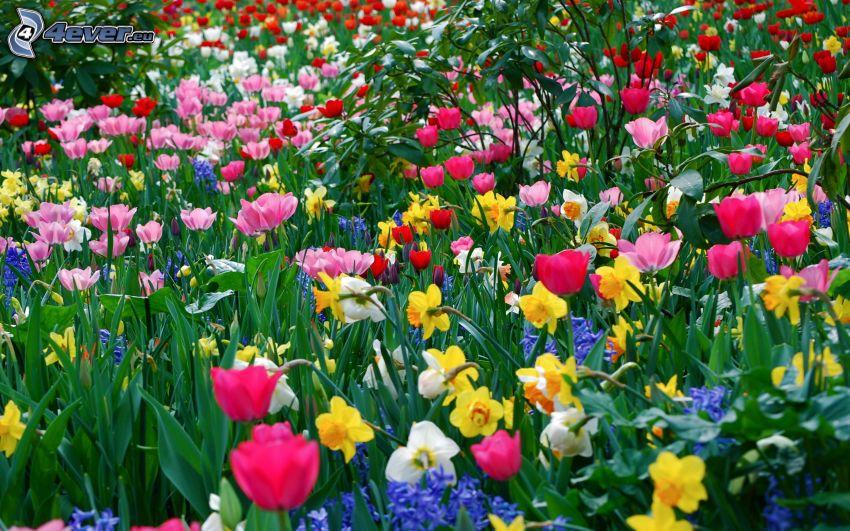 färgglada blommor, påskliljor, tulpaner