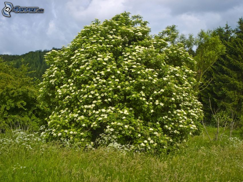 fläder, buske