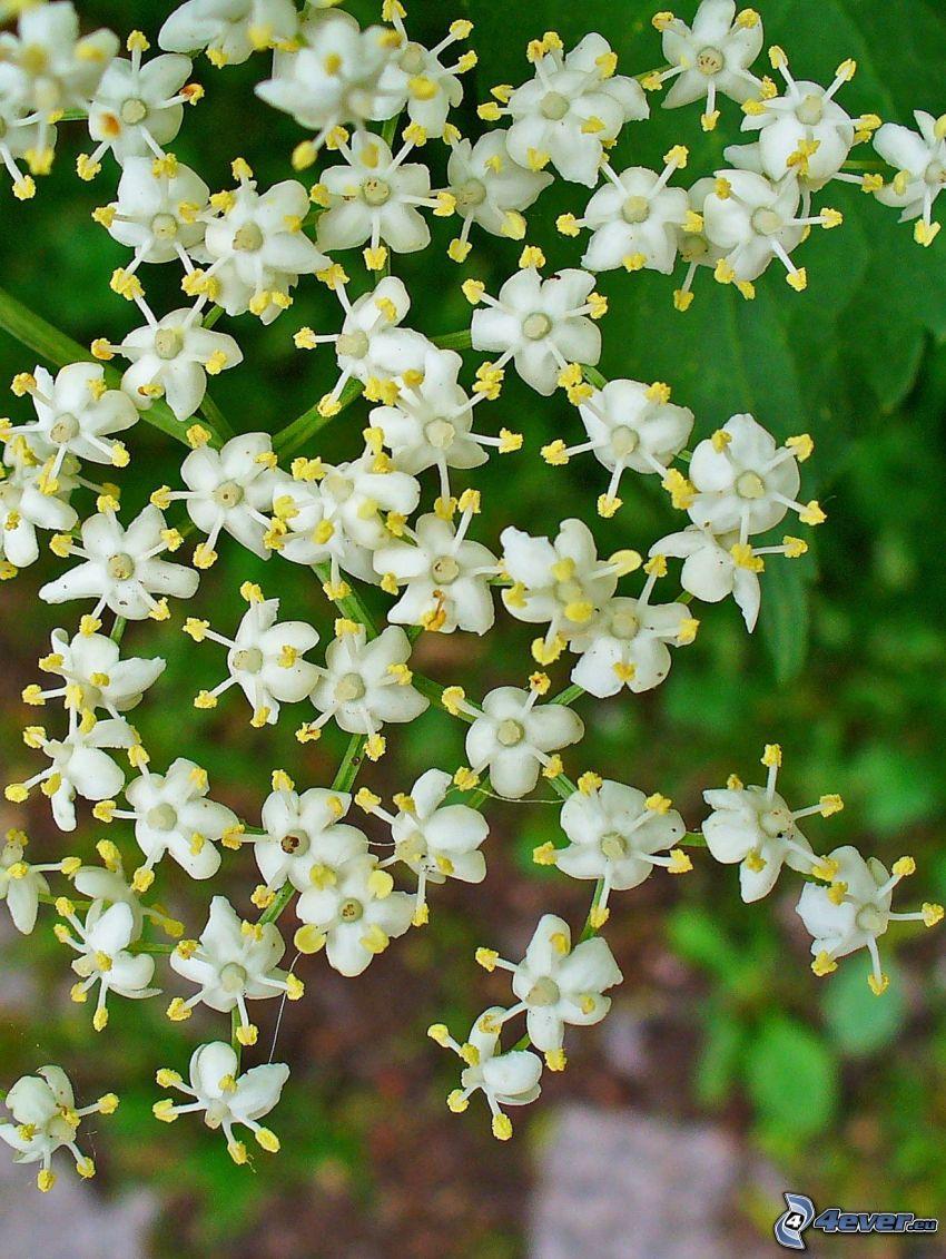 fläder, fläderblomma, vit blomma