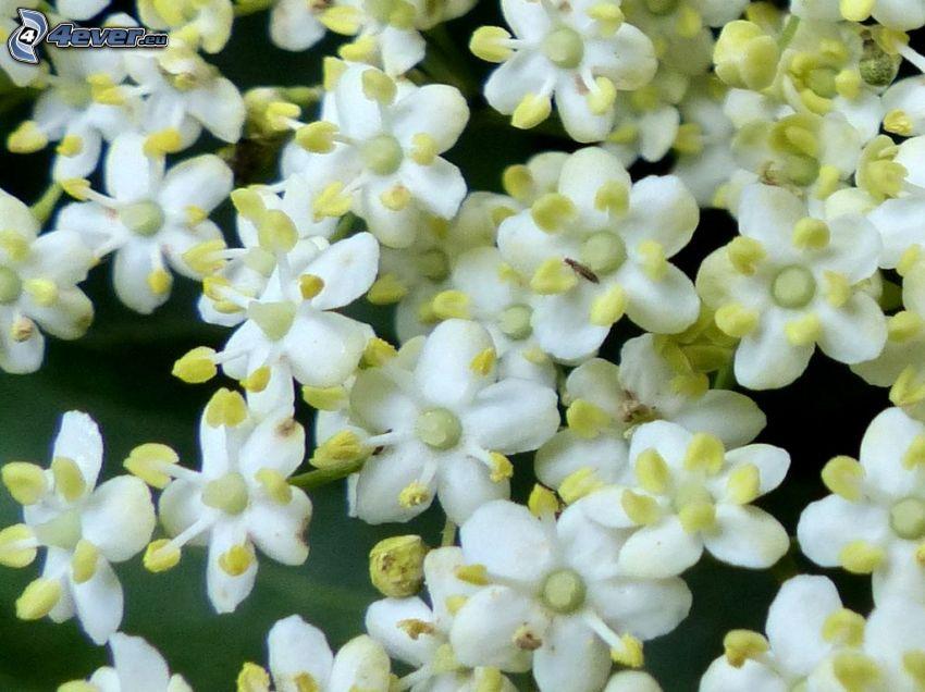 fläder, fläderblomma, vita blommor