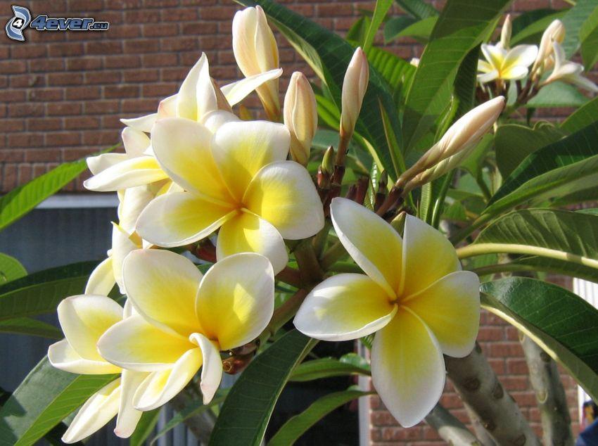 frangipani, gula blommor, gröna blad, tegelvägg