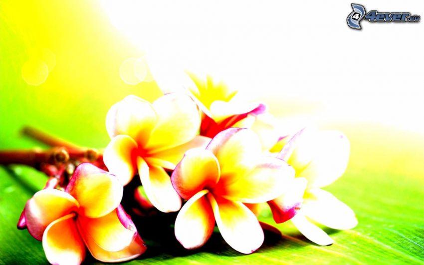 frangipani, gula blommor
