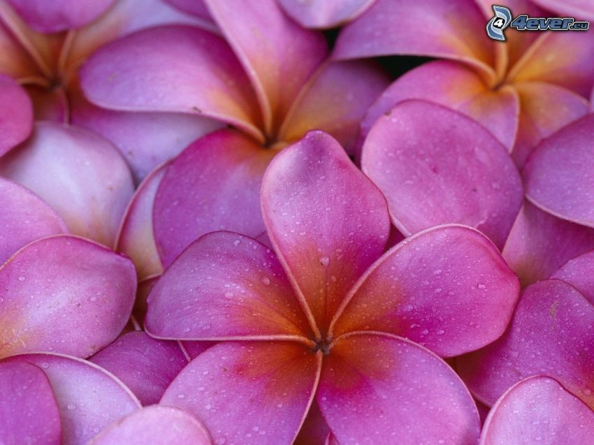frangipani, lila blommor