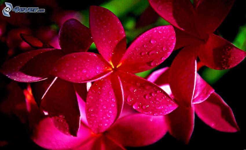 frangipani, rosa blommor, vattendroppar