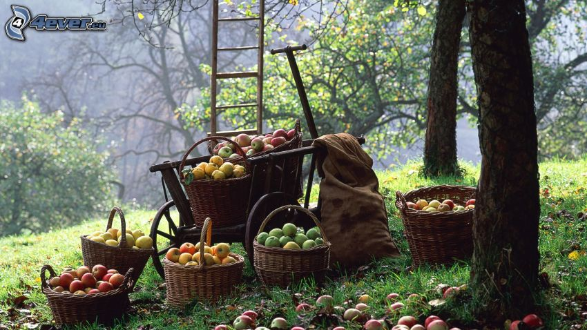 äpplen, skörd, korgar, kärra, stege