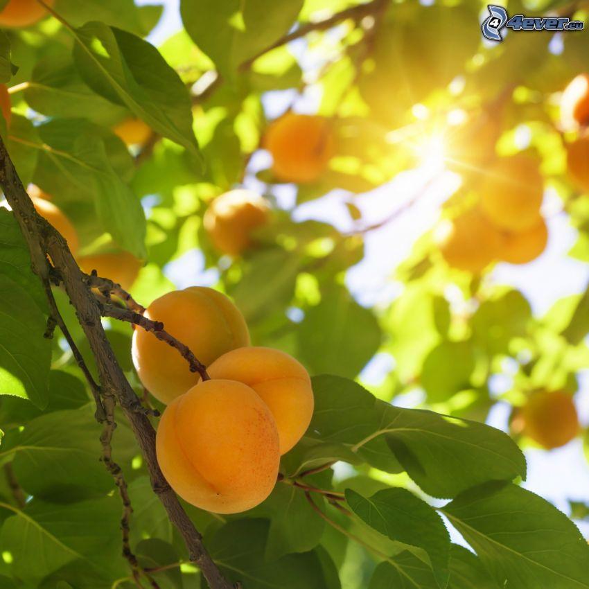 aprikoser, aprikosträd, solstrålar