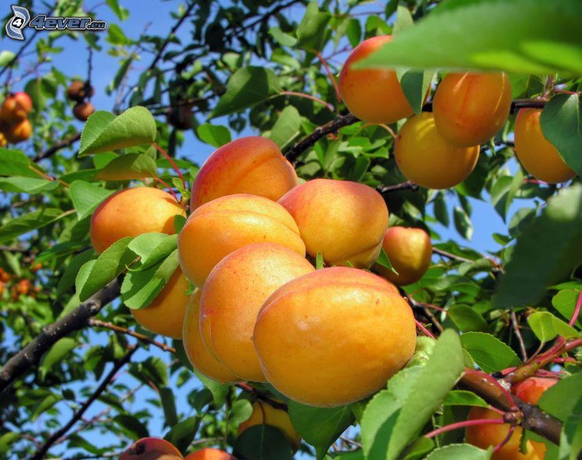 aprikoser, aprikosträd
