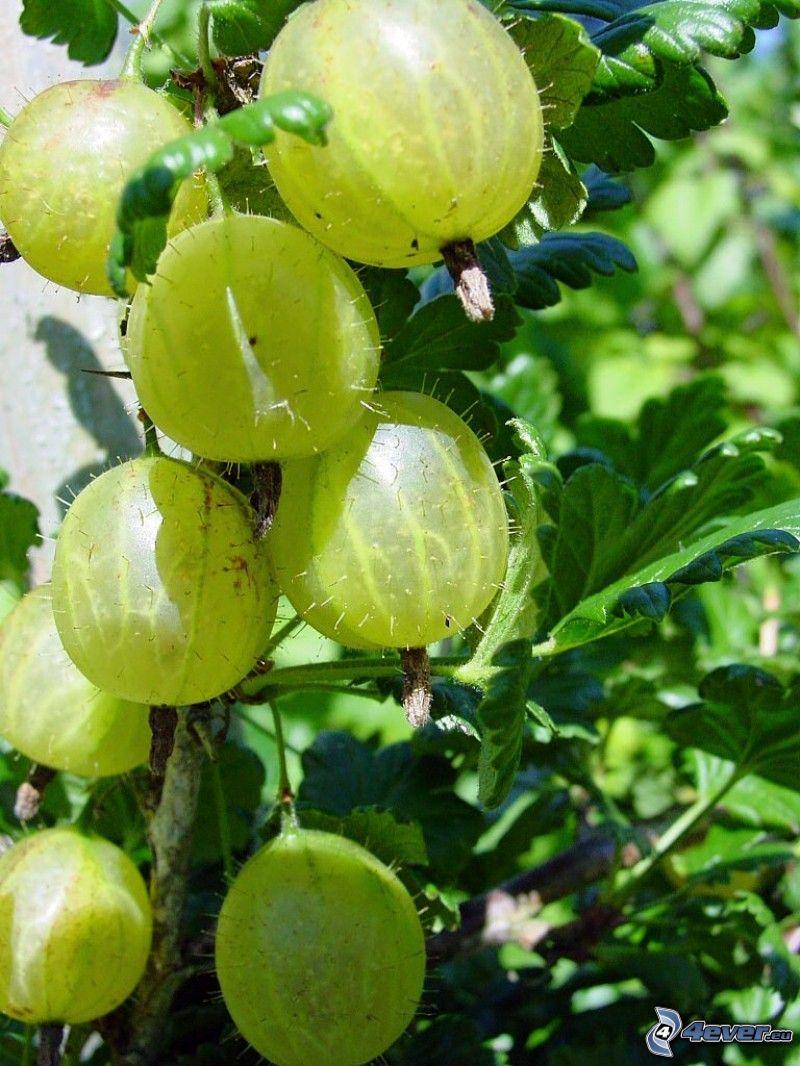 krusbär, gröna blad