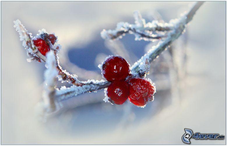 pilkastning, snötäckt gren