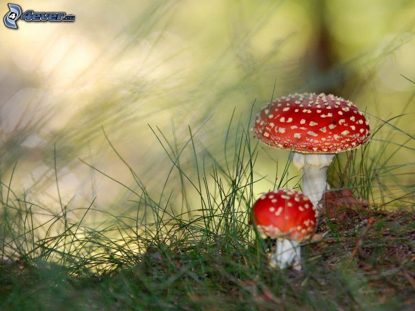 röd flugsvamp, gräs
