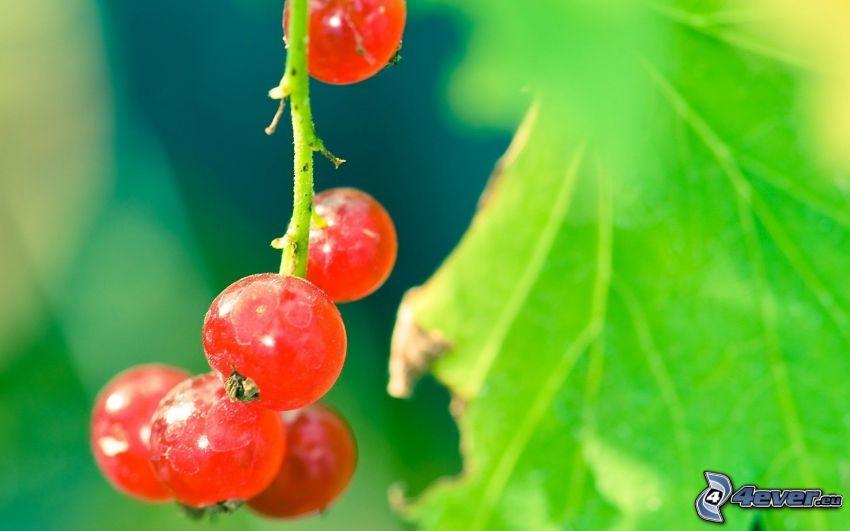 röda vinbär, makro