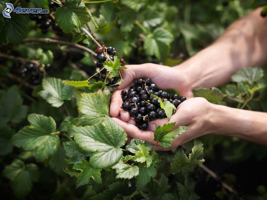 svarta vinbär, händer