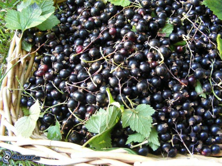 svarta vinbär, korg, gröna blad