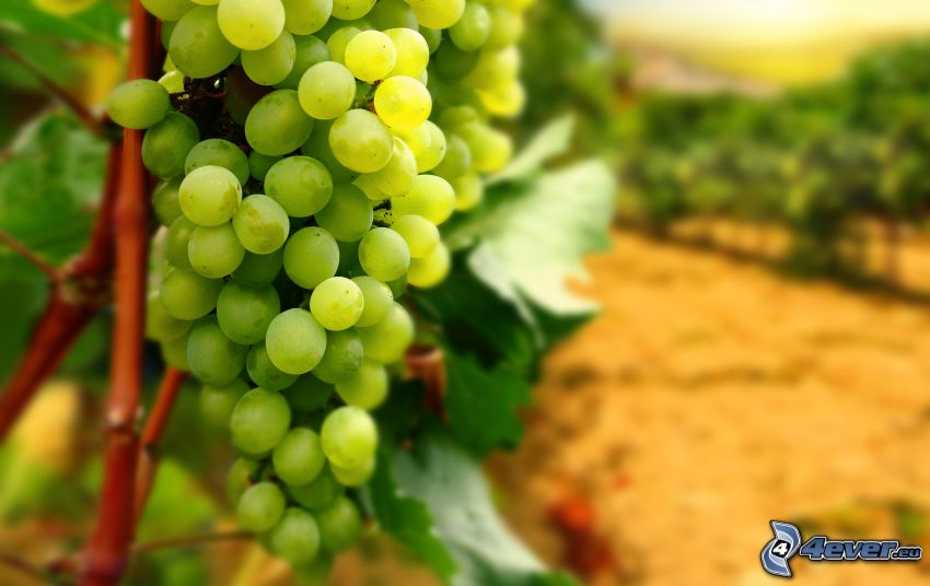 vindruvor, vingård, makro