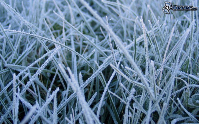 fruset gräs, frost