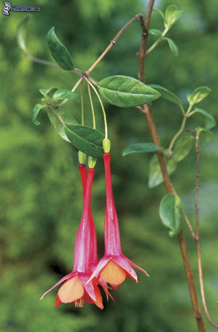 Fuchsia, röda blommor, kvist, gröna blad