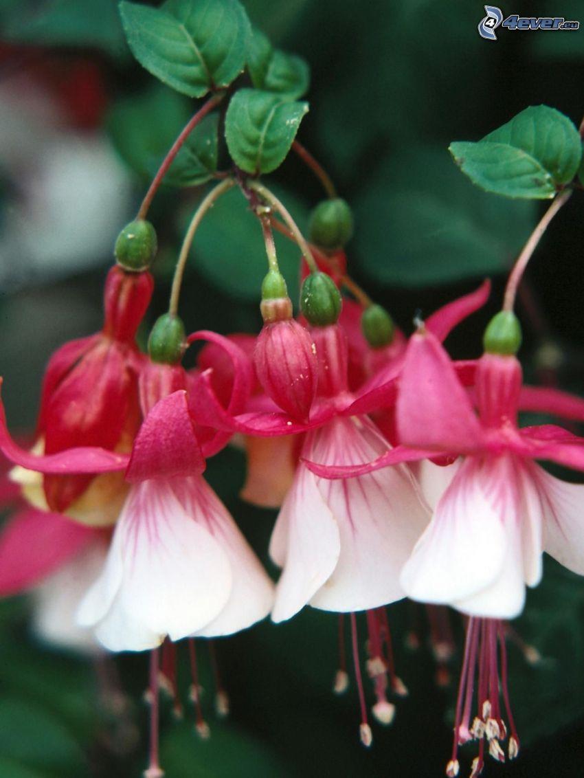 Fuchsia, vita blommor, gröna blad