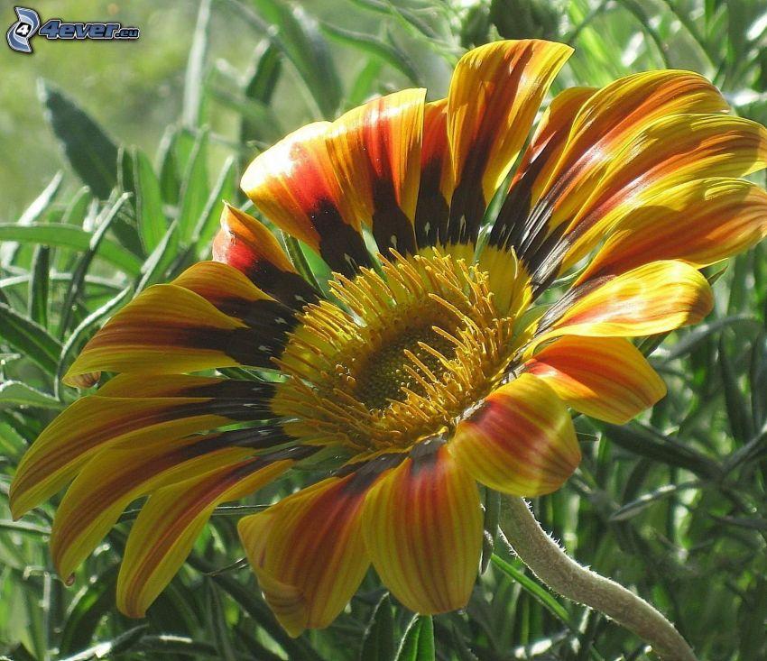 gerbera, gul blomma
