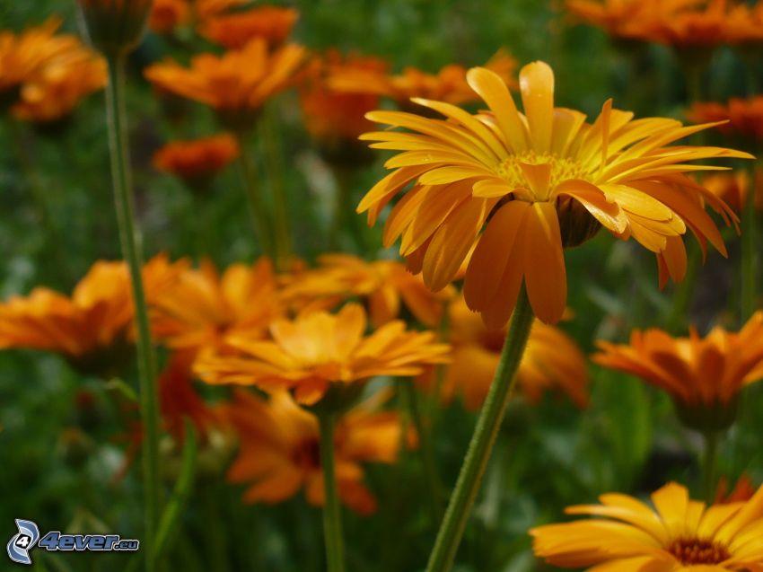 gerberor, gula blommor