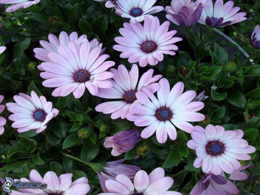 gerberor, lila blommor