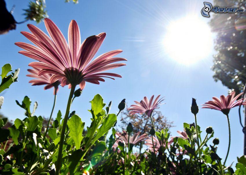 gerberor, rosa blommor