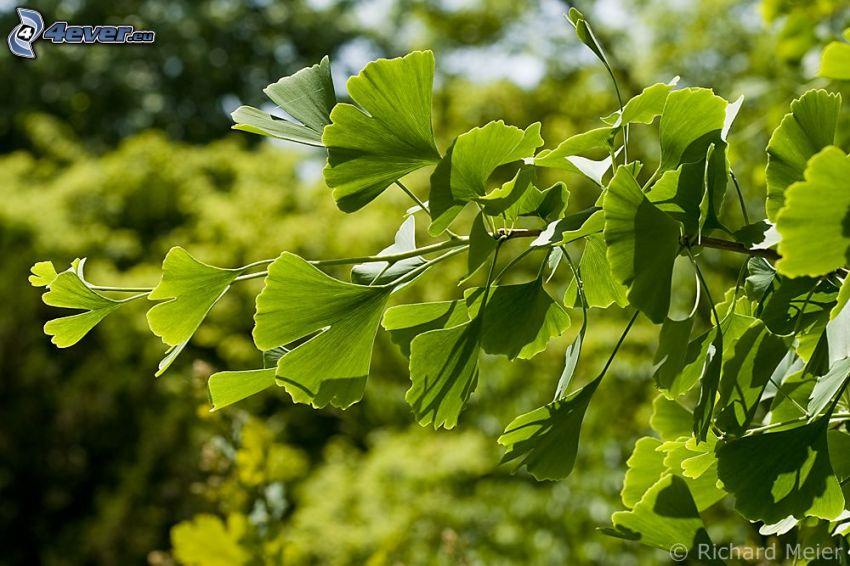 gingko, gröna blad, gren