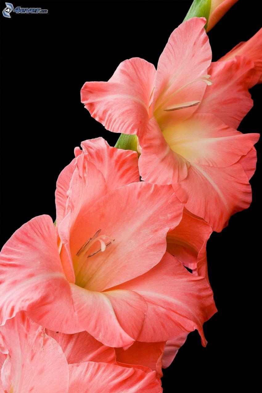 gladioler, orangea blommor