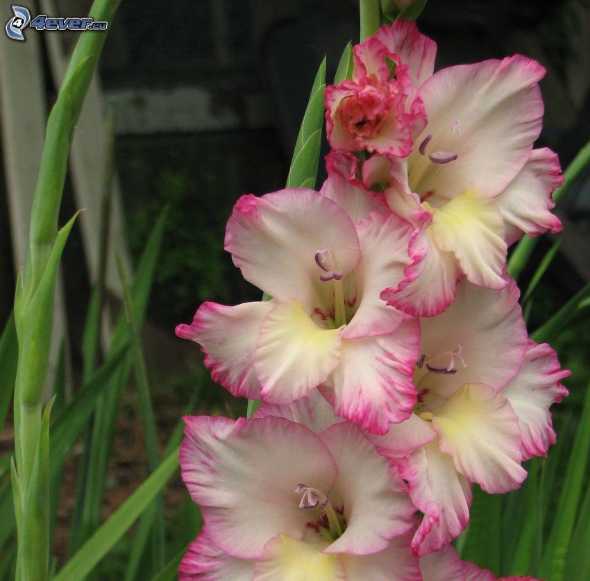 gladioler, vita blommor