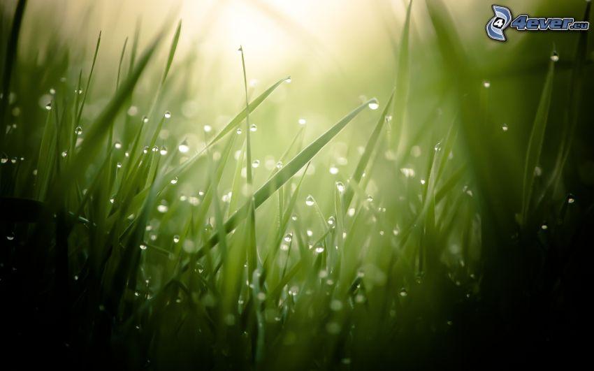 gräs, regndroppar