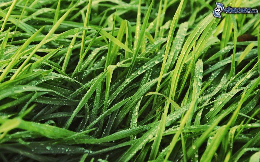 gräs, vattendroppar