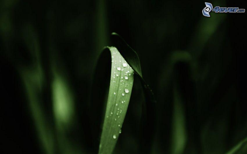 grässtrå, vattendroppar