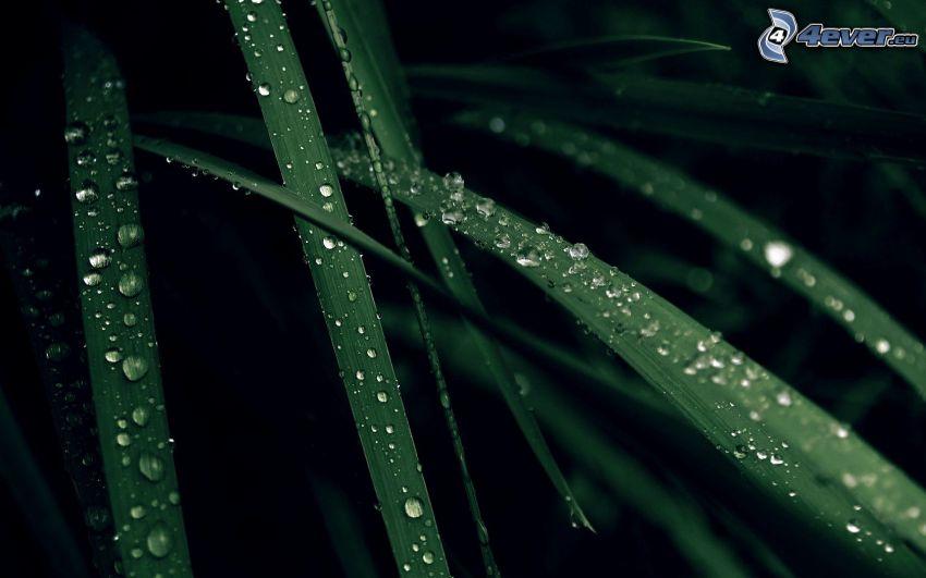 grässtrån, regndroppar