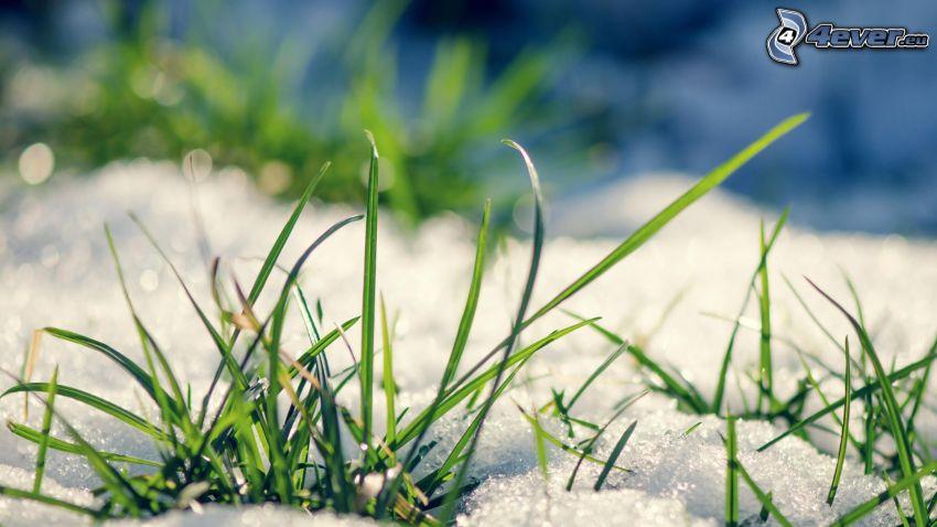 grässtrån, snö