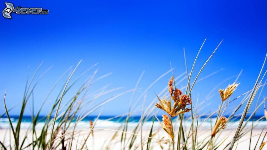 grässtrån, strand, blå himmel