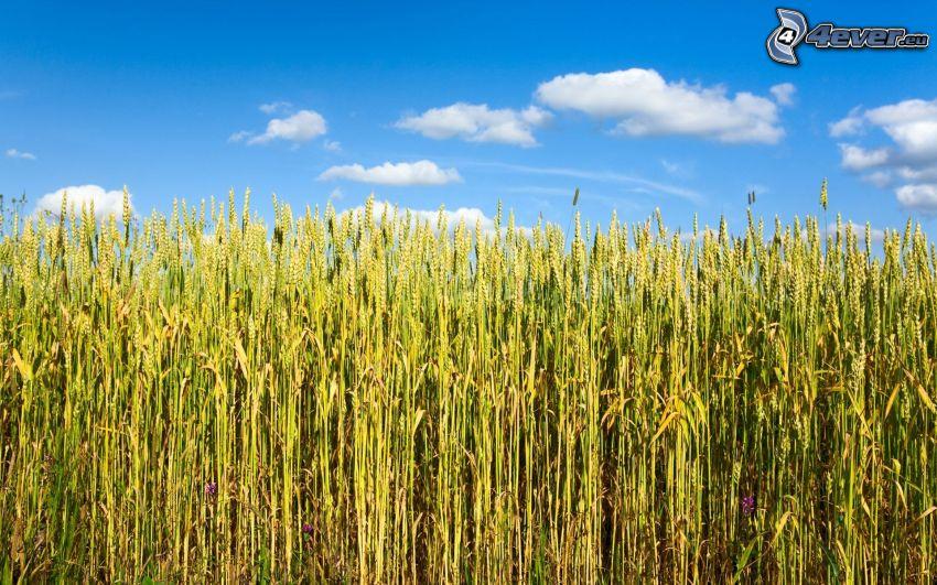 grön säd, vetefält, himmel