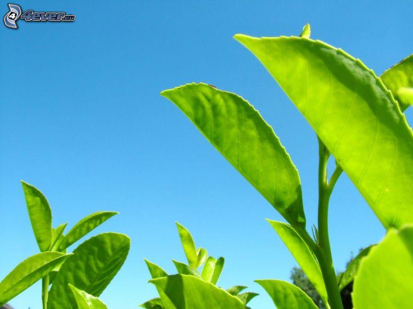 gröna blad