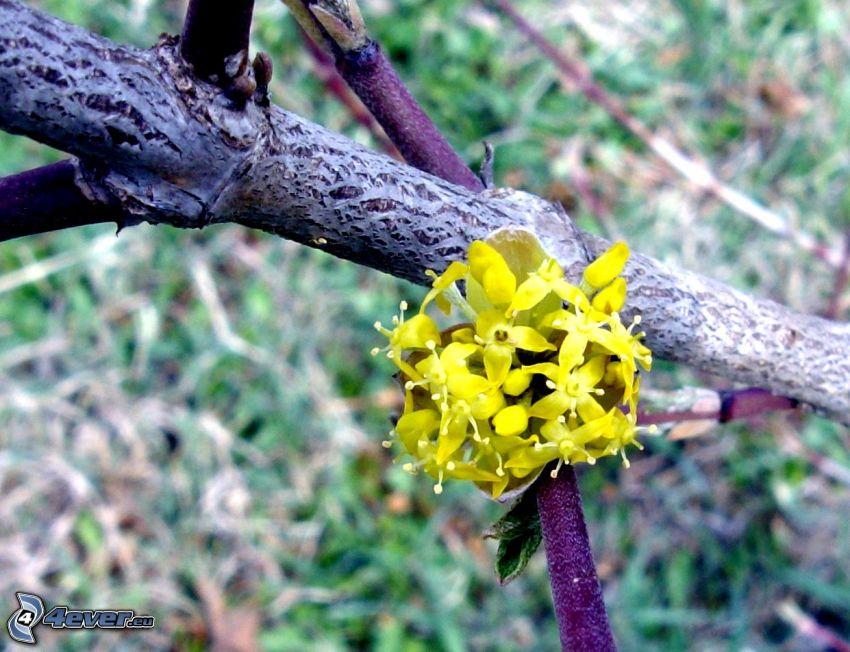 gul blomma, gren