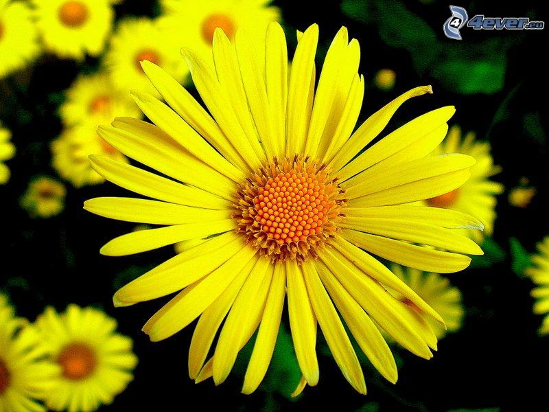 gul blomma, gula kronblad