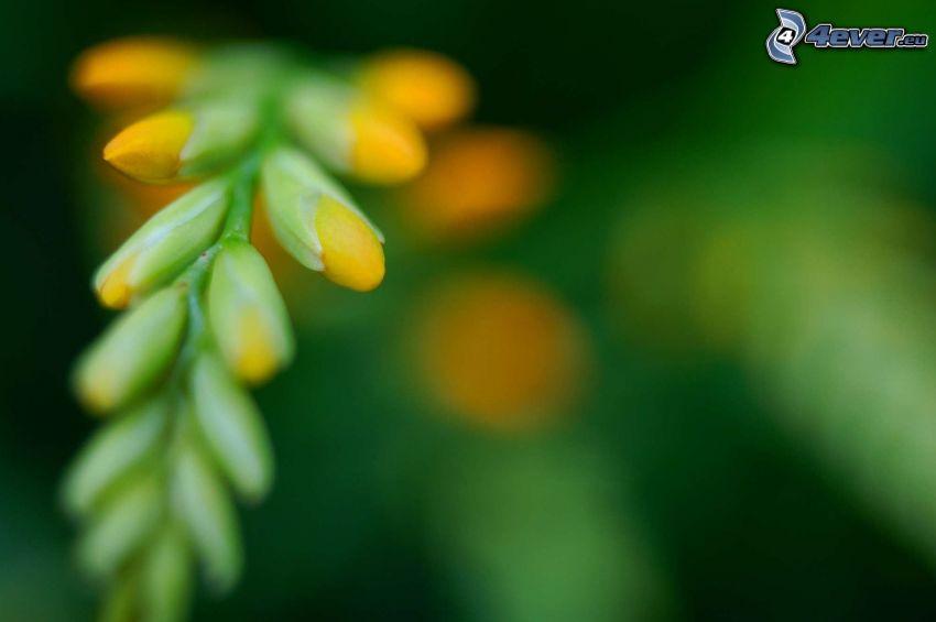 gul blomma, knopp