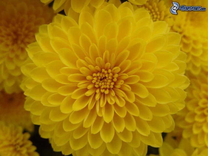 gul blomma, makro