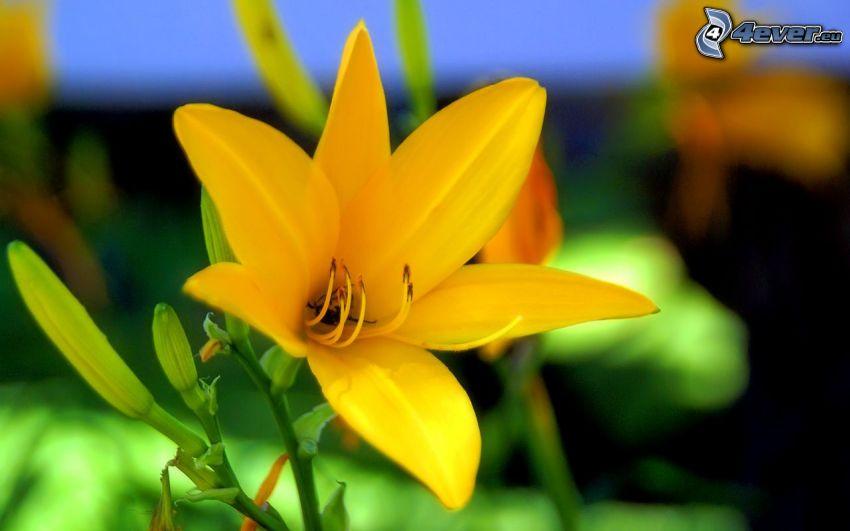 gul blomma