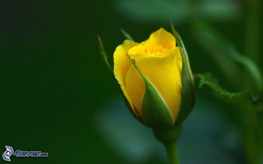 gul ros