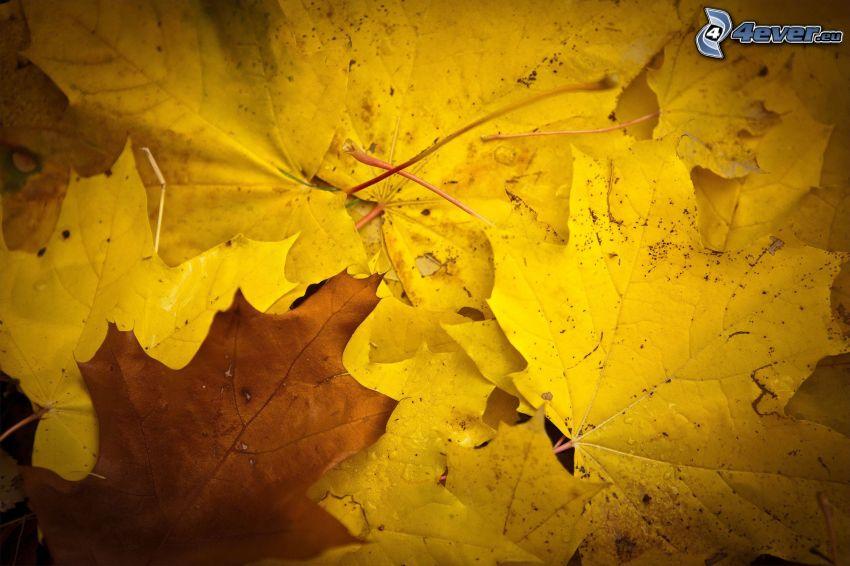 gula blad