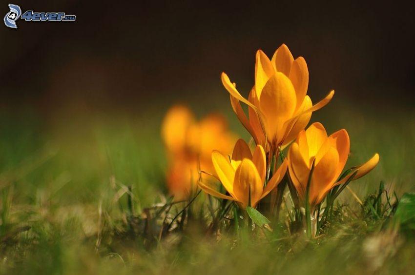 gula blommor, saffran